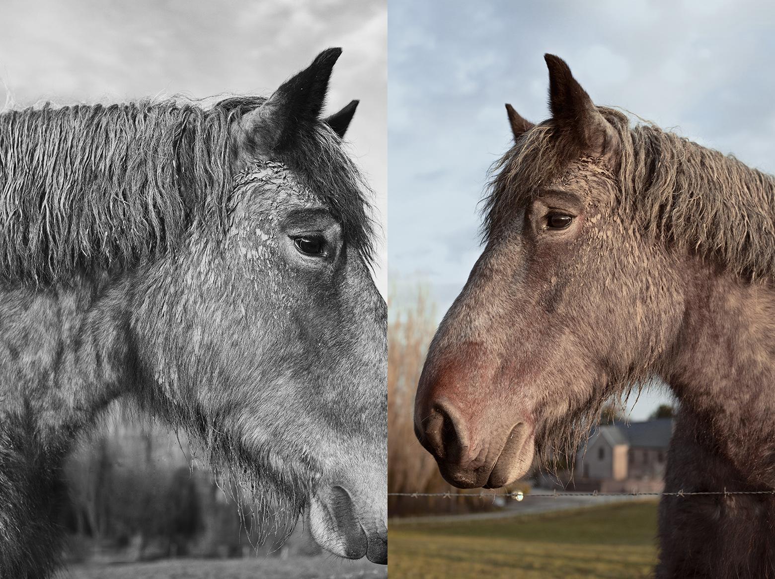 Belgisch Trekpaard, photography Filep Motwary ©